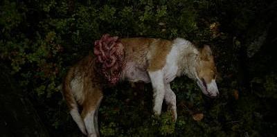Nej till inplantering av varg