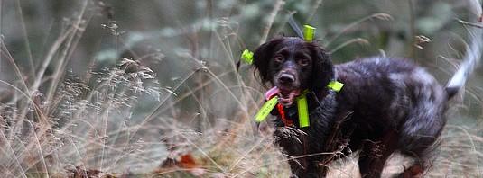 Wachtel i full fart under jakt. Foto: NIklas Liljebäck