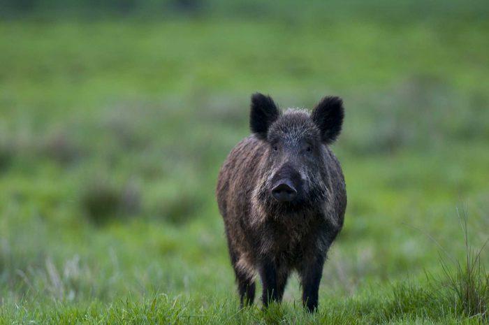 Därför ska jägare få sälja vildsvinskött
