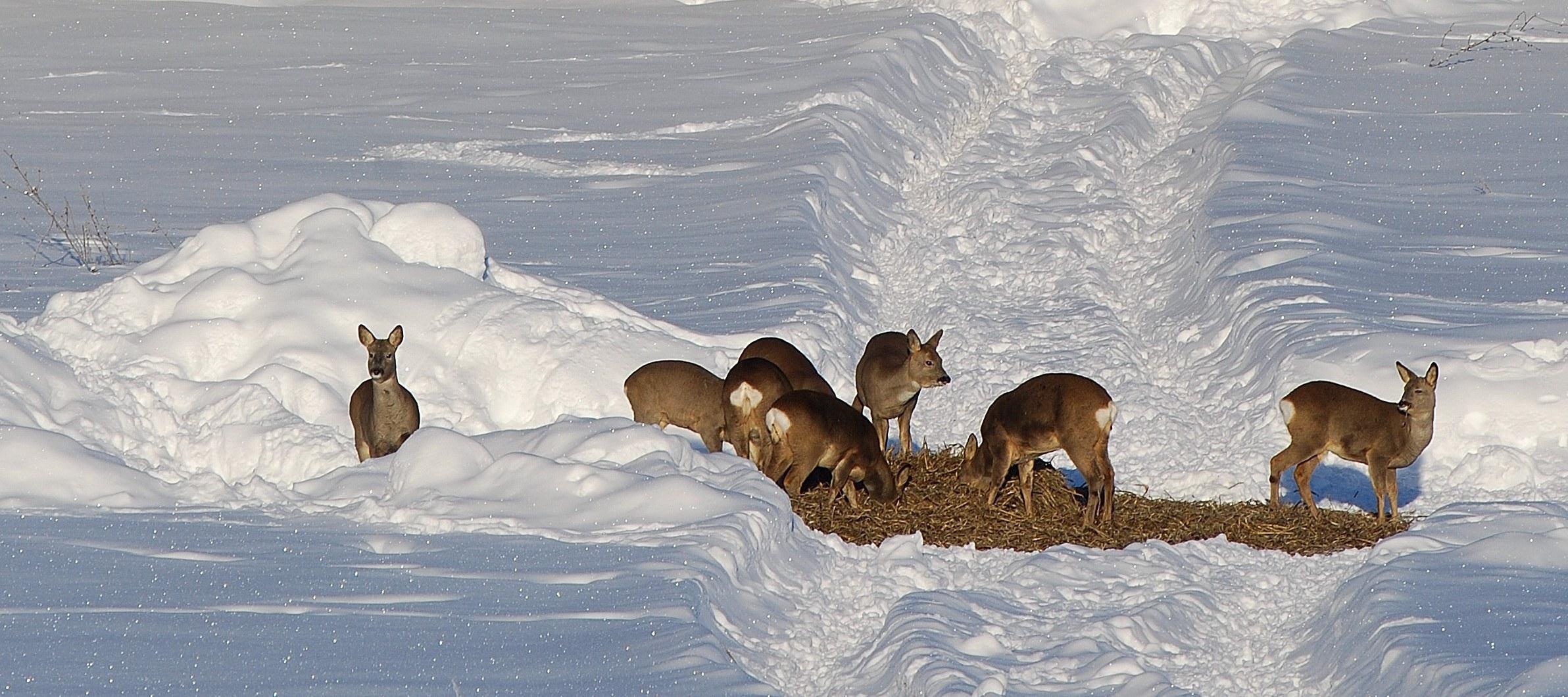 Handlar utfodringsförbudet om allt vilt? Eller är det utfodring av vildsvin och hjortar som regeringen vill komma åt?