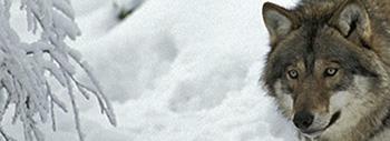 Thomas wassberg om vargen tar snart ett barn