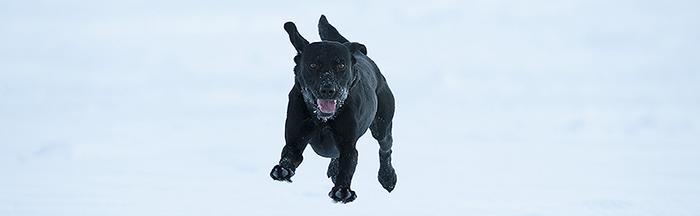 Varför ifrågasätts mina hundars hälsa för att vi jagar tillsammans när svenska jakthundar är friskast? Foto: Oscar Lindvall