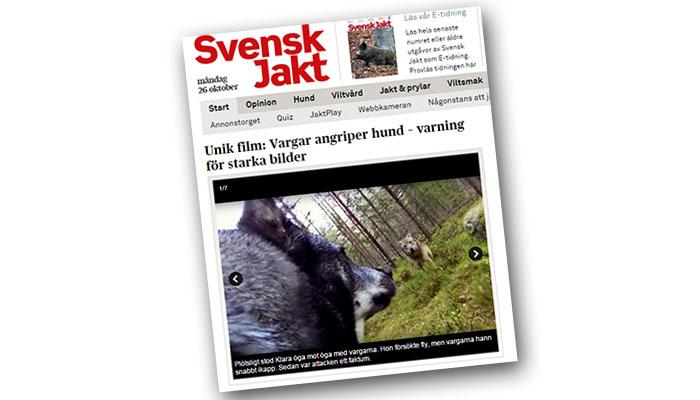 Debatten efter filmen som Svensk Jakt lagt ut med jämthunden Klara som angrips av två vargar visar tydligt hur absurd hela vargcirkusen har blivit.