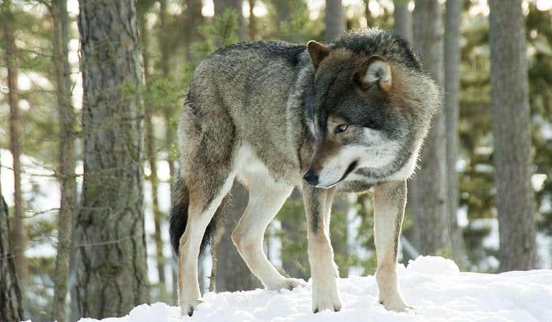 Jägare hatar inte varg