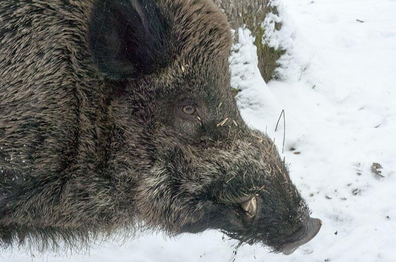 Viltolyckorna med rådjur ökade mest. Ändå får vildsvin och älg skulden. Foto Magnus Rydholm