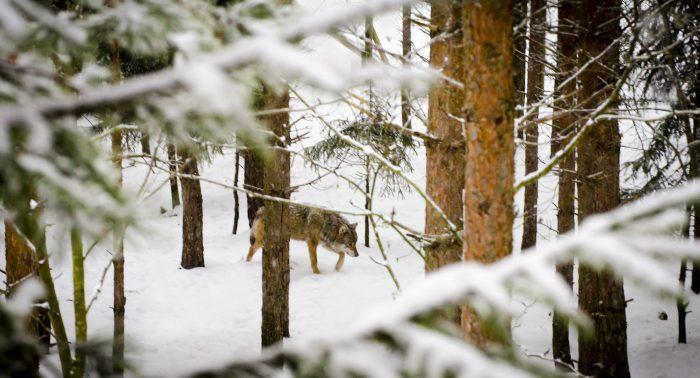 Jagare raddar vilda djur fran svalt